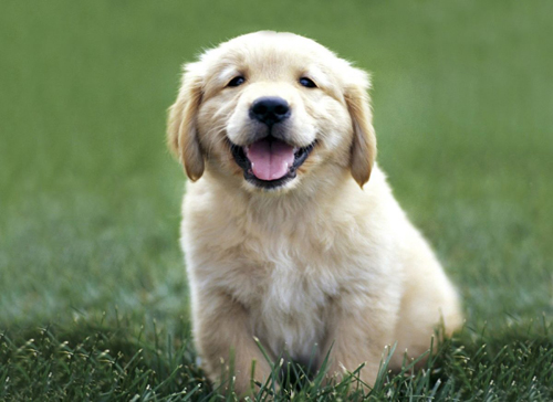 Golden_Retriever_mascotas