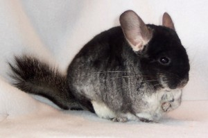 conejo chinchilla