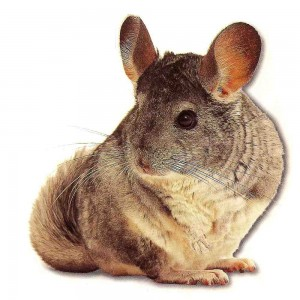 cute-chinchilla